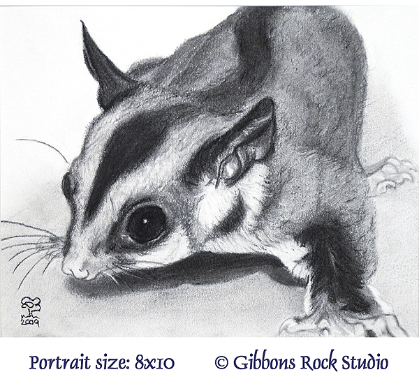 charcoal sugar glider portrait by Suzanne Boom